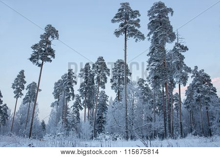 Winter forest and clear sky