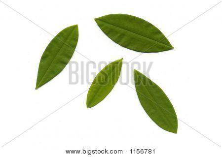 Koka-Blätter