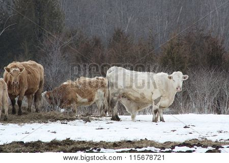 Cow with Calf Feeding