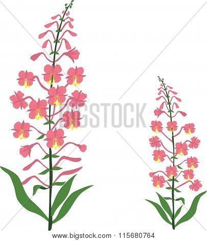 Angustifolium, chamaenerion, Willow tea herb, sally-bloom flower, vector Illustration, isolated on a