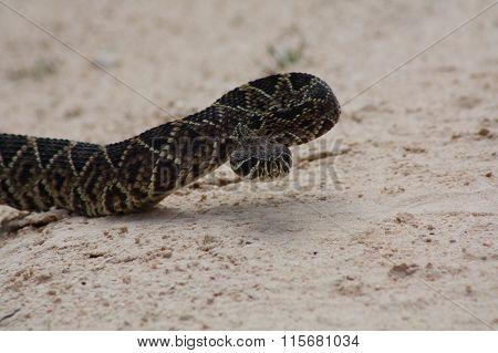 western diamond-back rattlesnake