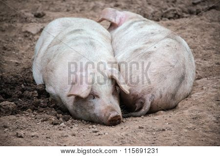 Two pigs sleeping next to each other