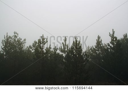 Pine Trees Forest At Cloudy In Fog Misty Haze