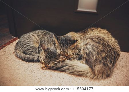 Two Cats Mother And Daughter Sleeping In An Embrace