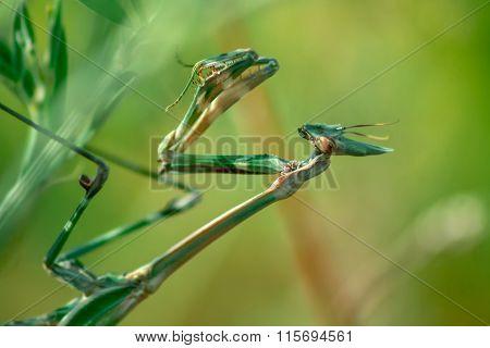 Green Mantis, Empusa Fasciata, On Branch Bush