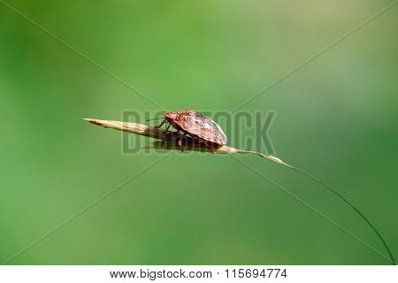 Little Bug Skunk On Thin Grass. Macro Photo