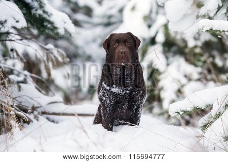labrador dog outdoors in winter