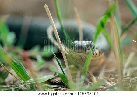 Natrix Snake Hunting In Green Grass At Summer Day