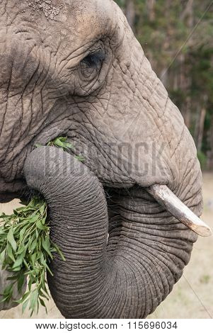 An elephant eating leaves