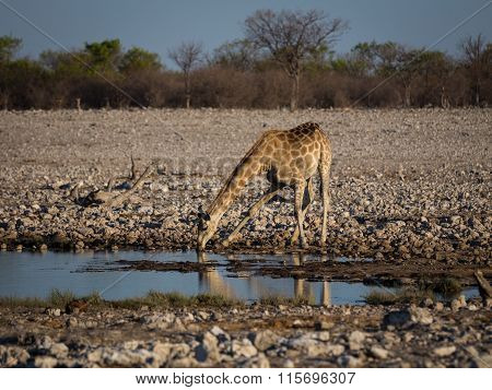 Angolan giraffe drinking at waterhole.