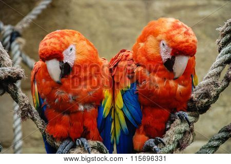 Two Scarlet Macaws Perched On Rope