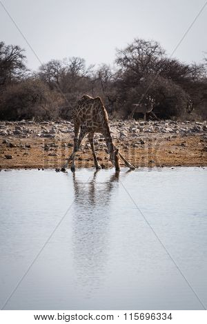 Angolan giraffe kneeling down to drink