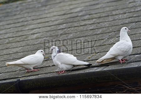White Doves On A Roof