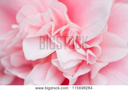 Macro Of A Rose Camellia Japonica