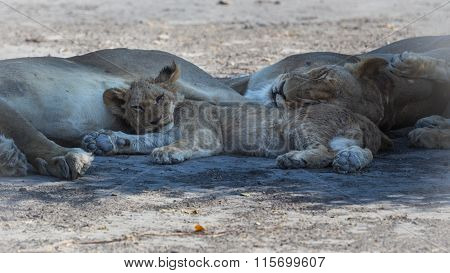 Young lion taking a nap with its family