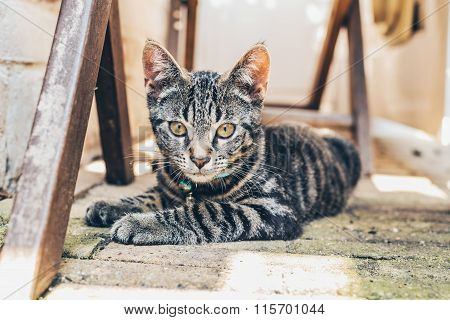 Grey Tabby Cat With Intense Golden Eyes