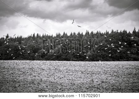 Black And White Shot Of Flying Seagulls Over  Arable Land