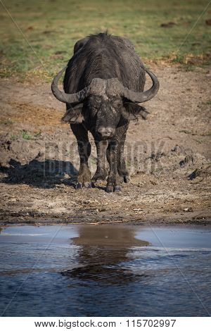 African buffalo at river