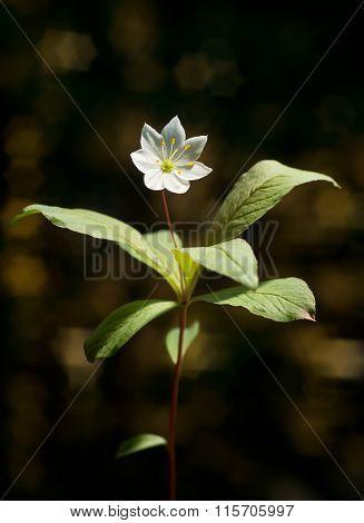 Arctic starflower, Trientalis europaea