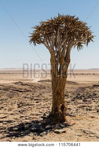 Isolated Quiver tree, Aloe Dichotoma