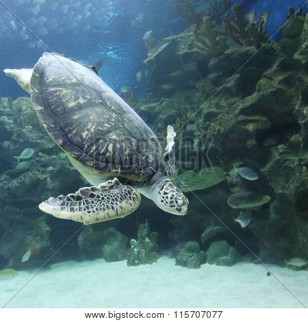 Underwater view of swimming turtle and small fish