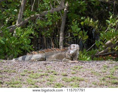 Iguana Sunning Near The Beach In St. Croix