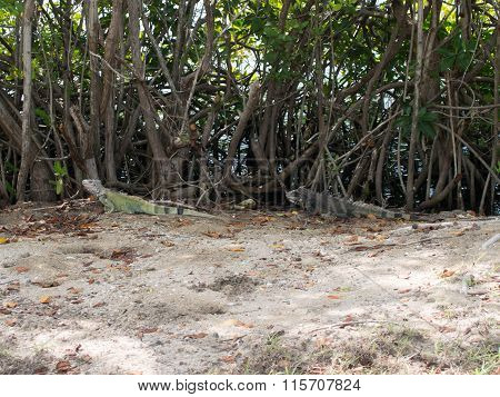 Two Iguanas Hiding Near The Beach In St. Croix