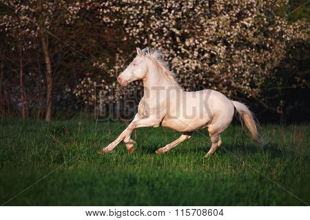 Beautiful horse rare suit jumps on the field against a background of a blossoming tree.