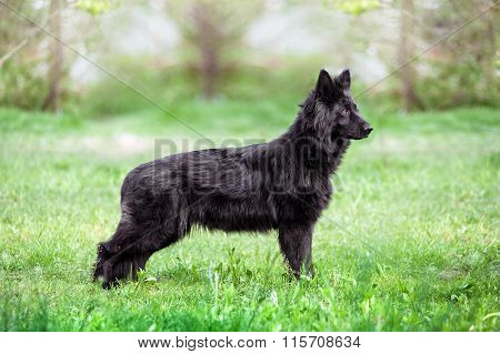 Black haired sheepdog standing in profile in the exterior rack on a neutral light background