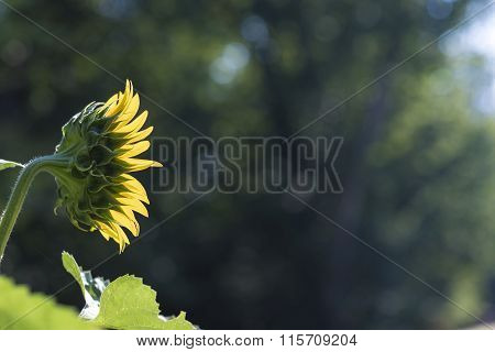 Side View Of Beautiful Blooming Sunflower Growing In Nature