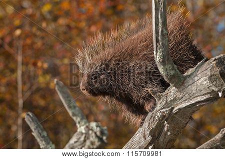 Porcupine (erethizon Dorsatum) Looks Out