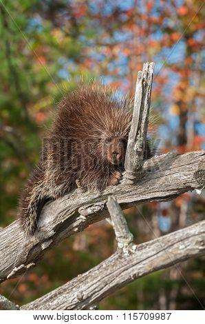 Porcupine (erethizon Dorsatum) Dozes