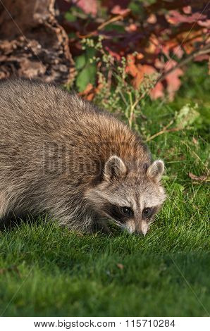 Raccoon (procyon Lotor) Sniffs In The Grass