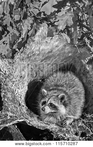 Raccoon (procyon Lotor) Sits Inside Log B&w
