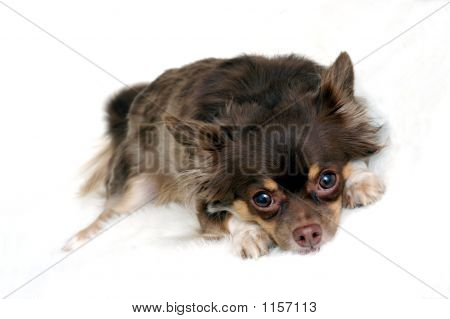 chihuahua isolated against white background.