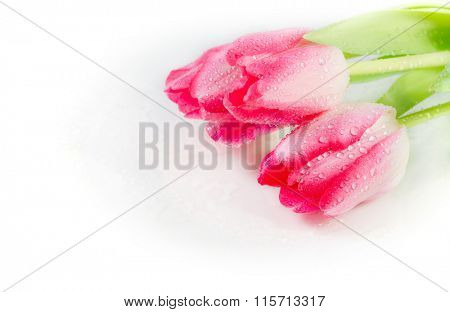 Three tulips with drops of dew on a white background