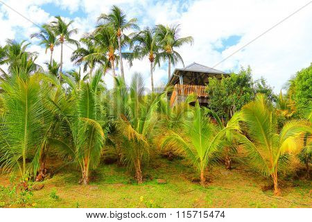 Coconut palm trees on plantation, Reunion Island, France. Agriculture in tropical climate.