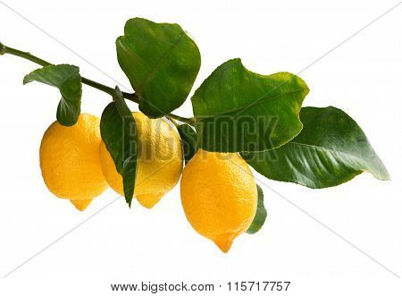 Branch Of Lemons