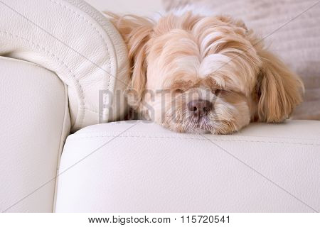a cute dog just relax in hotel. a dog sitting on sofa