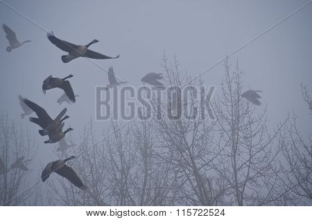 Flock Of Geese Taking To Flight In The Silent Fog Of Morning