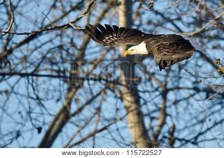 Bald Eagle Flying Past The Winter Trees