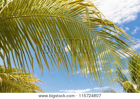 Coconut Palm Tree Leafs On Blue Sky