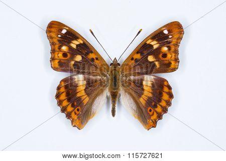 Lesser Purple Emperor, Apartura Ilia,  Butterfly