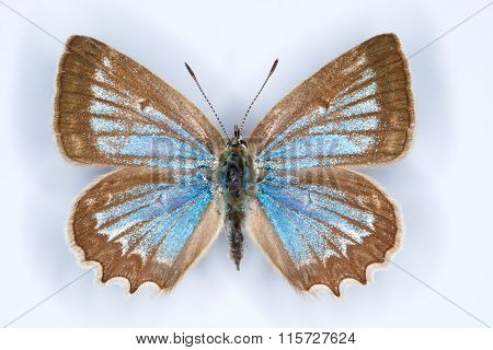Melaegeria Daphnis Blue Butterfly On White