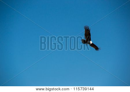 Brown eagle in blue sky, langkawi
