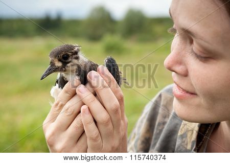 Bird A Lapwing