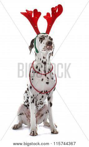 Dressed Female Dalmatian