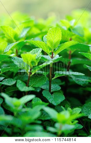green mints crops in growth at garden