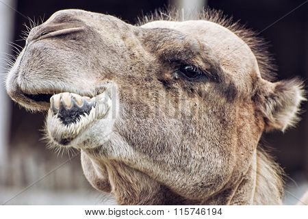 Bactrian Camel Closeup Crazy Portrait, Animal Face