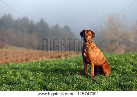 Sitting gundog